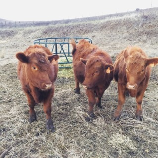 wandering through our pasture, saying hello to the steers