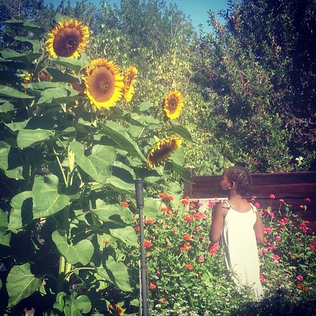 pamela sunflowers